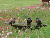 Blackbird Birdbath Bowl