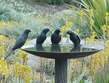 600mm-Lorikeet-Birdbath-to-replace-existing-image_215