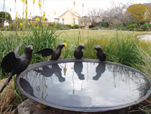 Special Occasion Gift Ideas for men and ladies: Ringneck Birdbath Bowl - launched at the Melbourne International Flower & Garden Show