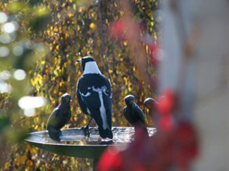 Magpie and Mates