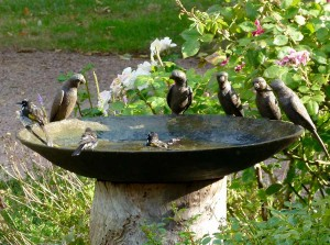 Honeyeaters in Birdbath