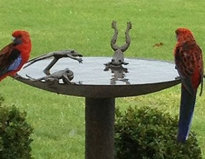 Rosellas in Birdbath